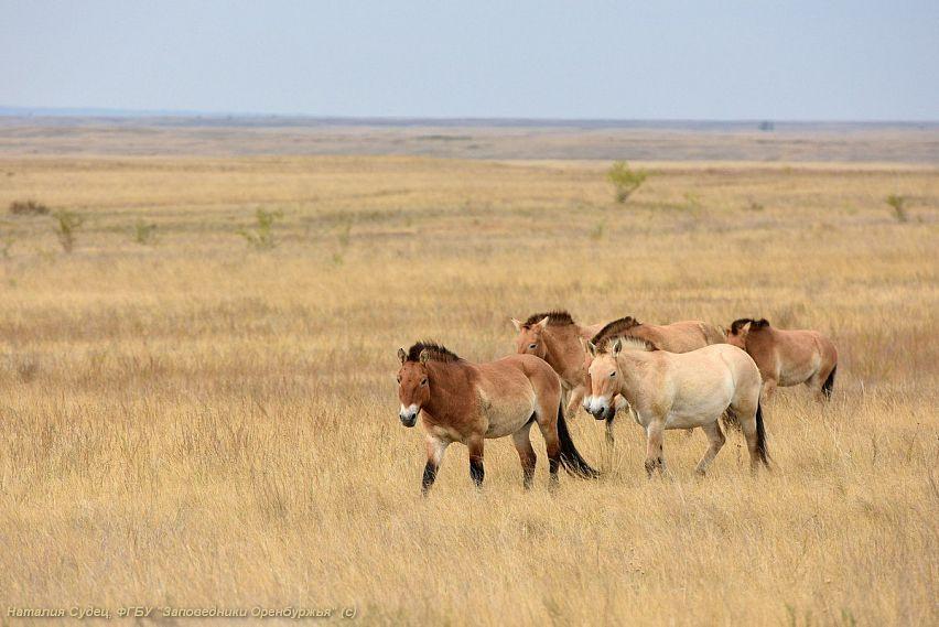 Лошади Пржевальского прилетели
